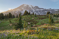 Wildflower meadows of Paradise containing  a mixture of Broadleaf Lupines, Sitka Valerian, and Western Anenomes. Mount  Rainier National Park, Washington