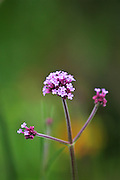 Verbena Boniarensis in a London garden, England, United Kingdom