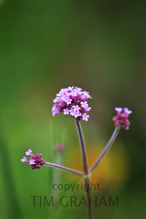 Verbena Boniarensis in a London garden, England, United Kingdom