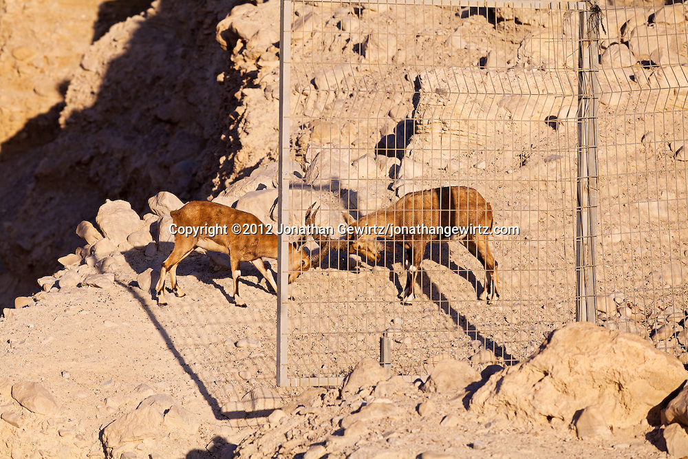 A pair of Nubian ibexes (Capra nubiana) playfully butt heads on a ledge over Nahal David in the Ein Gedi nature preserve. WATERMARKS WILL NOT APPEAR ON PRINTS OR LICENSED IMAGES.