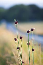 Wild Onion near road, Cuckmere Haven, Sussex. Allium vineale