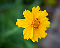 Lance-leaf Coreopsis. Image taken with a Leica SL2 camera and 60 mm f/2.8 TL lens.