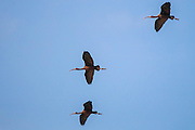 Three glossy ibis (Plegadis falcinellus) in flight blue sky background. Photographed in Israel in November