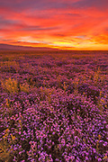 Phacelia after Sunset, Carrizo Plain National Monument, California