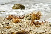 Sargasso Sea, Bermuda | Common Sargasso Weed or Common Gulfweed (Sargassum natans) angspühlt auf den Bermuda Inseln