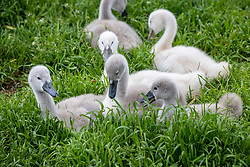 Licensed to London News Pictures. 25/05/2021. London, UK. Goslings munch on lush grass caused by the rains in Barnes southwest London as the Met Office forecast sunny warmer weather for London and the South East with temperatures predicted to hit 22c at the weekend. Photo credit: Alex Lentati/LNP