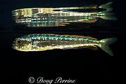 juvenile mahi-mahi, dorado, or dolphin fish, Coryphaena hippurus (c), about 10 cm (4 inches) long, with reflection on undersurface of water, Kona, Hawaii (de)