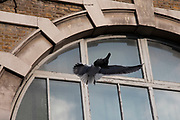 Seagull eating a pigeon in London, England, United Kingdom.