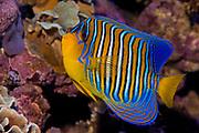 Regal Angelfish, Pygoplites diacanthus.