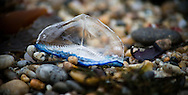 Velella velella stranded along the Pacific coast, on the beaches of Monterey and Carmel, California