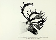 Head of a Male Newfoundland Reindeer (Rangifer tarandus terraenovae) from the book ' The deer of all lands : a history of the family Cervidae, living and extinct ' by Richard Lydekker, Published in London by Ward 1898