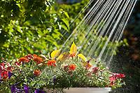 Watering plants, Littleton, Colorado USA