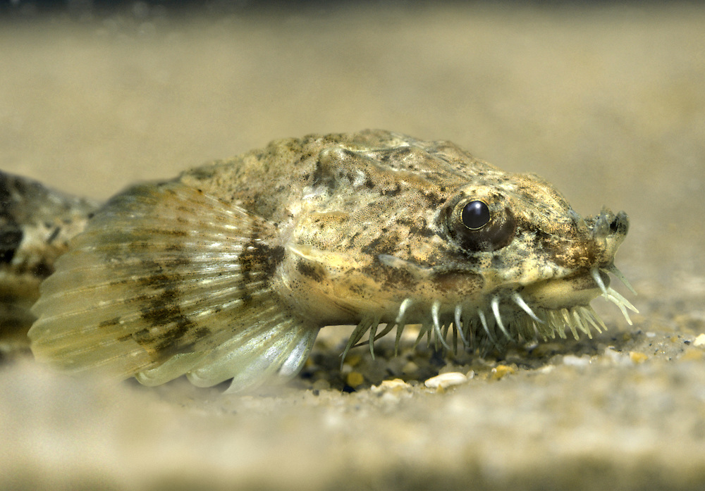 Pogge Agonus cataphractus Length to 15cm<br /> Distinctive, elongated fish with an 'armoured' look about it. The broad, flattened head is armed with spines and barbels. It occurs in inshore waters, and is commonest in the W.