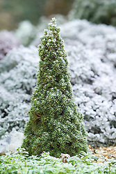 Dwarf conifer - Picea glauca 'Laurin' with hoar frost