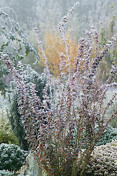 Berberis thunbergii 'Red Pillar' in winter