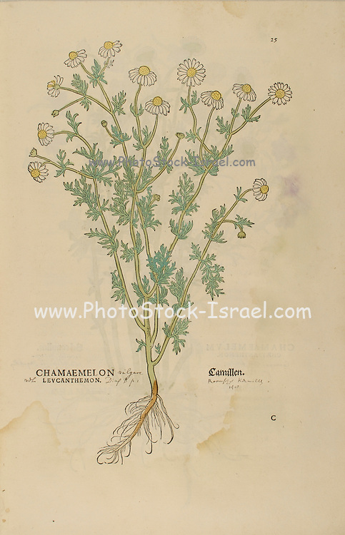 16th century, watercolor, hand painted woodcutting print of a Chamaemelon levcanthemon Camillen, Chamomile or camomile flower from Leonhart Fuchs book of herbs: De Historia Stirpium Commentarii Insignes Published in Basel in 1542 The original manuscript this image is taken from shows signs of water damage