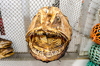 Norway, Lofoten. Henningsvær is a fishing village on the southern tip of Austvågøya. A dried fish head.