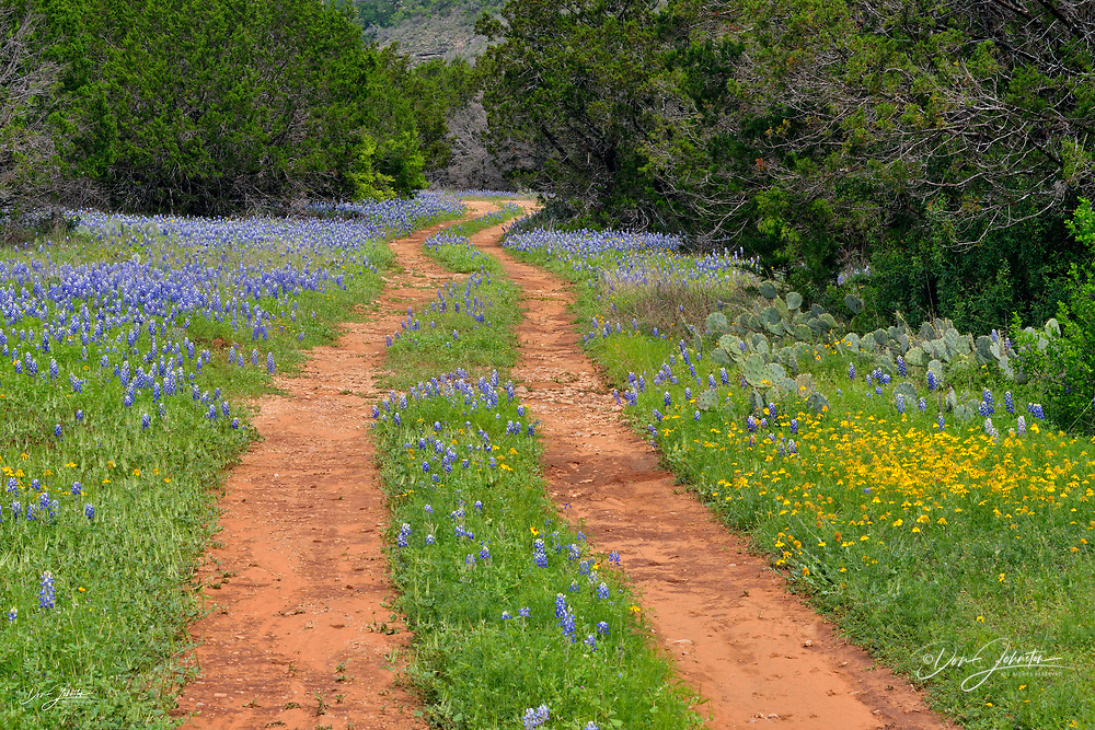 Texas bluebonnets lining a country lane, Llano County CR 310, Texas, USA