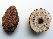 Silicified cones of the primtive conifer Araucaria, from the Jurassic of Santa Cruz Province, Argentina.