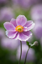 Anemone × hybrida 'Loreley'. Japanese anemone
