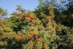 Duindoorn, Hippophae rhamnoides
