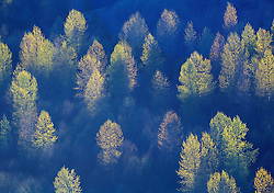 Backlit Willow Trees on Spud Mountain, Coldwater Ridge, Mt. St. Helens National Volcanic Monument, Washington, US