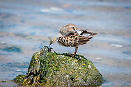 Sitting atop a rock, a tiny least sandpiper preens its feathers.