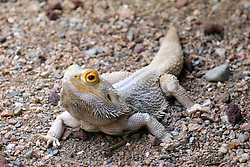 14 May 2013:  Bearded Dragon. This animal is a captive animal and well cared for by a zoo.