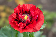 Papaver, close-up of a red poppy at Forde Abbey, Chard, Dorset, UK