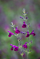 Salvia × jamensis 'Nachtvlinder' (Woody sage)