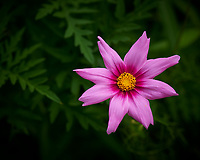 Cosmos Flower. Image taken with a Nikon D850 camera and 105 mm f/2.8 VR macro lens