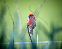 Male House Finch. Image taken with a Nikon D5 camera and 600 mm f/4 VR lens (ISO 1600, 600 mm, f/4, 1/800 sec).