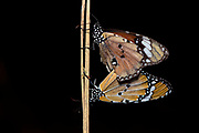 African monarch (Danaus chrysippus) mating. Photo from Berenty, southern Madagascar.