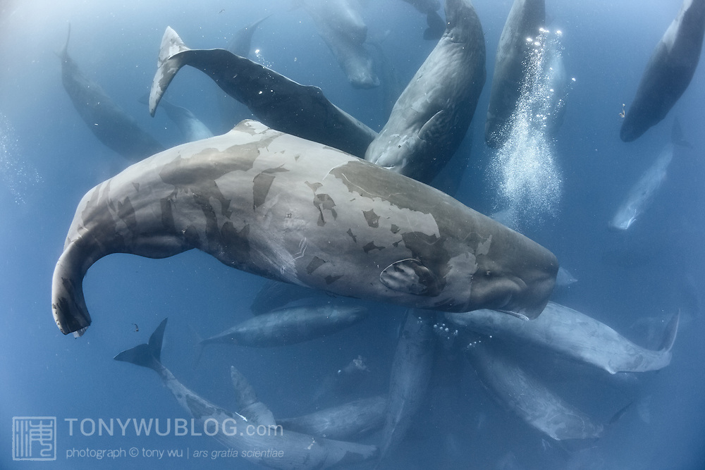 This was part of a large gathering of sperm whales (Physeter macrocephalus) comprising hundreds, perhaps thousands of individual whales that spanned horizon to horizon for nearly three days. This was likely a meeting of multiple social units in the same clan. Pictured here is one particularly large social cluster.  This image is licensed on an exclusive basis to BBC through 29 October 2021.
