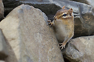 Goshen, New York - An eastern chipmunk (Tamias striatus) at the 6 1/2 Station Road Sanctuary on March 24, 2013. The wildlife refuge is owned and maintained by the Orange County Audubon Society.