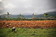 A water buffalo grazes in a meadow while a train crosses the countryside in the background, Hue area, Vietnam, Southeast Asia
