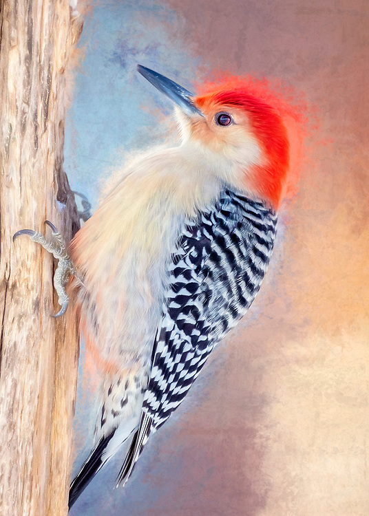 A Dreamy Vision Of A Red-Bellied Woodpecker