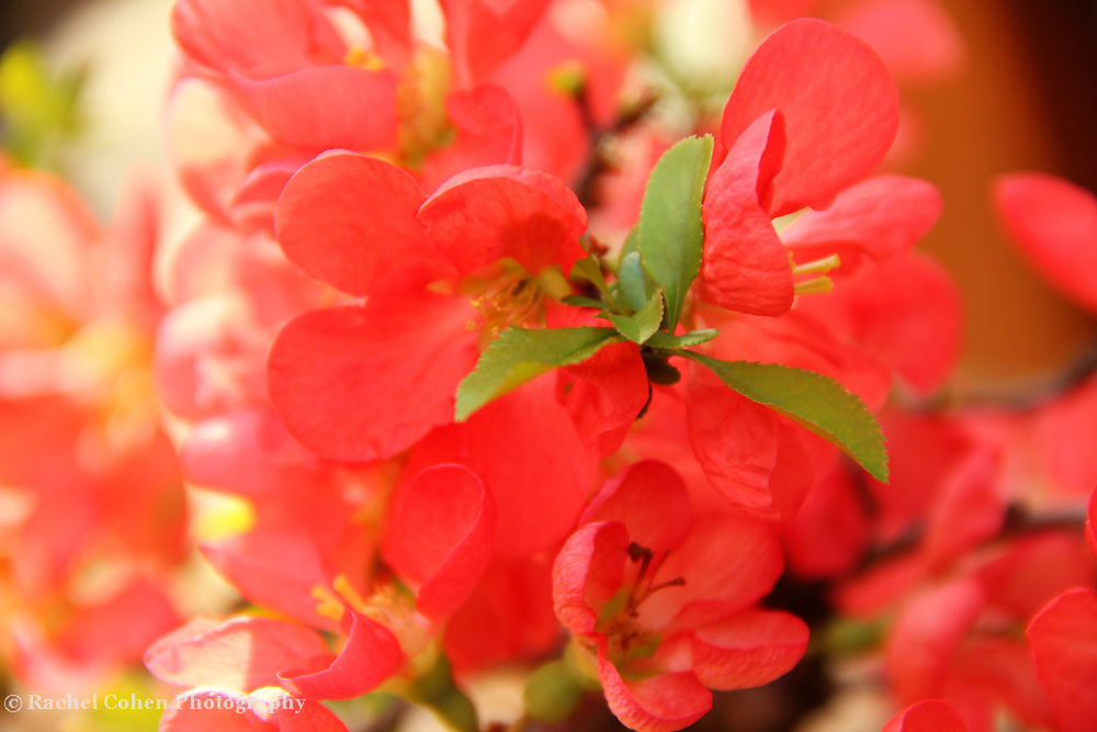 """""""Illuminate""""<br /> <br /> Quince Blossoms in sunlight!!<br /> <br /> Flowers by Rachel Cohen"""