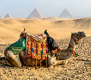 Traditionally decorated camel against background of Great Pyramid of Giza (Khufu's pyramid), Pyramid of Khafre and Pyramid of Menkaure.