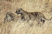 Kenya, Samburu National Reserve, Kenya, Leopard, Panthera pardus cubs Photographed in August