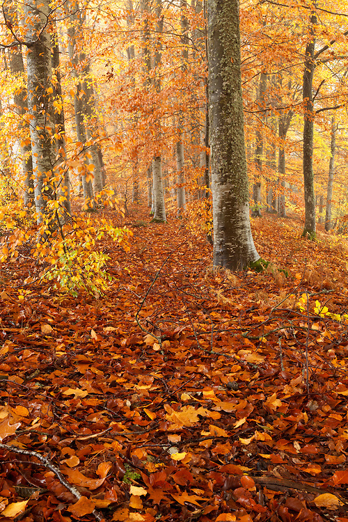 Beech trees in autumn colors with leaves on the ground