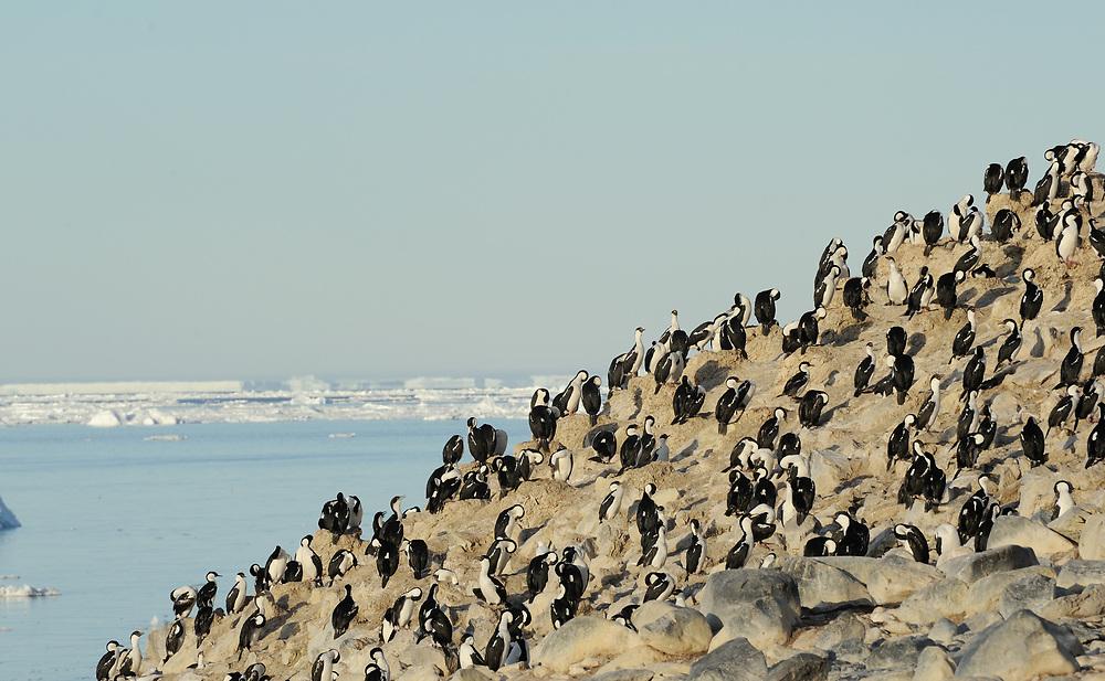 A nesting colony of Antarctic Shag (Phalacrocorax bransfieldensis) on a cliff.Paulet Island, Antarctic Peninsula. Antarctica. 02Mar16