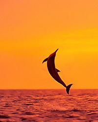 Hawaiian spinner dolphin, long-snouted spinner dolphin, or Gray's spinner dolphin, Stenella longirostris longirostris, leaping at sunset, Kealakekua Bay, Big Island, Hawaii, USA, Pacific Ocean