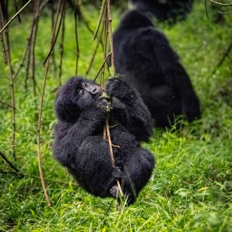 A young gorilla descends down a vine playfully. Uganda.<br /> <br /> Open Edition Print / Stock Image