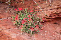 Eastwood Indian paintbrushes thrive in arid, rocky canyons. This one was growing out of a crevice high up a rocky wall in Zion National Park.