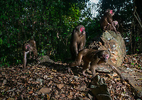 The stump-tailed macaque has long, thick, dark brown fur covering its body, but its face and its short tail, which measures between 32 and 69mm, are hairless.Infants are born white and darken as they mature. In Kaeng Krachan National Park.