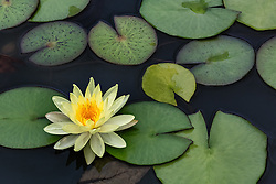 Water Lily, yellow, #8.