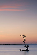 A driftwood tree at sunset in water near Harbour Island, Eleuthera, The Bahamas