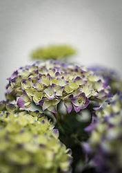 THEMENBILD - die lila weißen Blüten einer Hortensie (Hydrangea), aufgenommen am 21. Mai 2019, Kaprun, Österreich // the purple white flowers of a hydrangea on 2019/05/21, Kaprun, Austria. EXPA Pictures © 2019, PhotoCredit: EXPA/ Stefanie Oberhauser