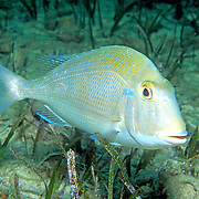 Pluma Porgy inhabit reefs and adjacent areas of sand, rubble and seagrasses in Bahamas and Caribbean; picture taken Nassau, Bahamas.